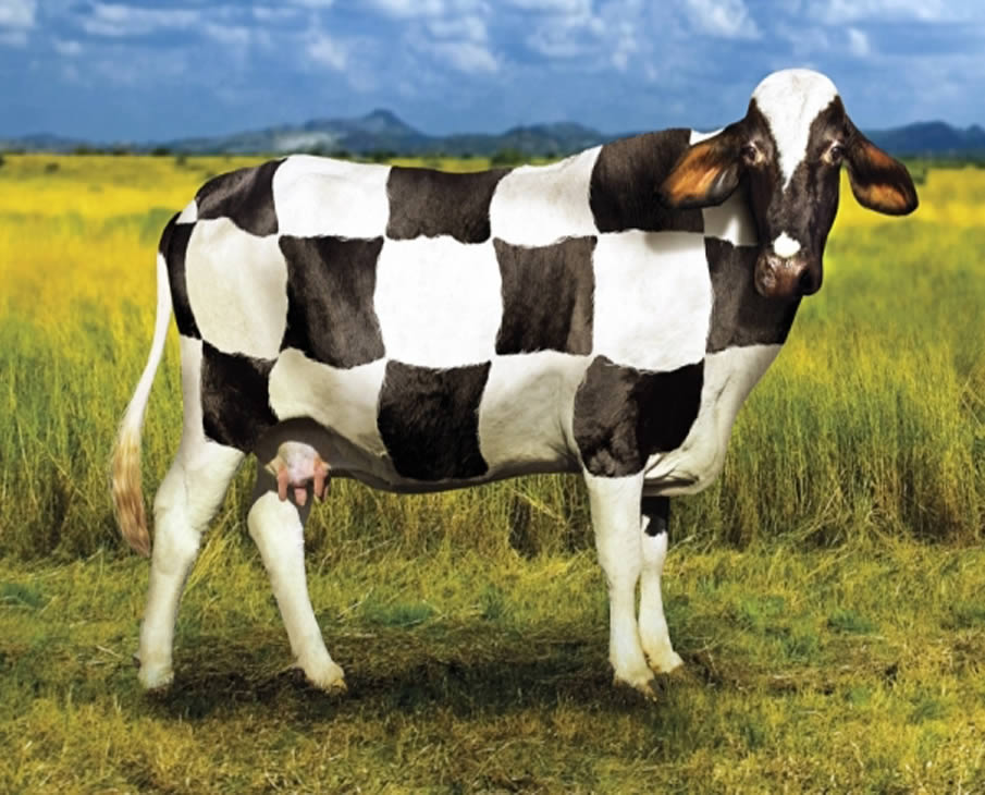Cow World Cup