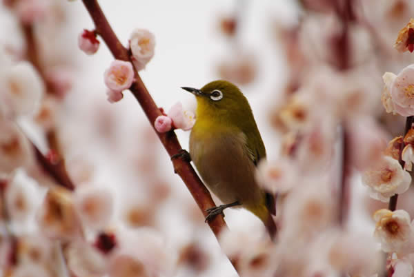 White-eye in Pink Clouds