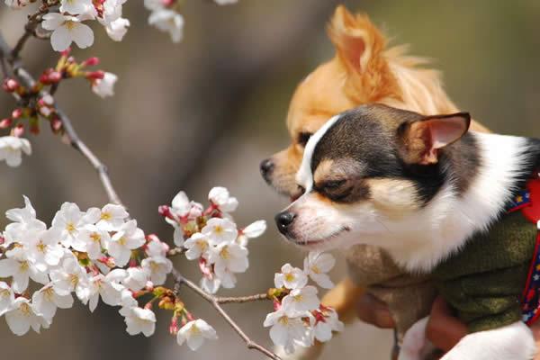 Wanko Mo Hanami or Cherry Blossom Sniffing