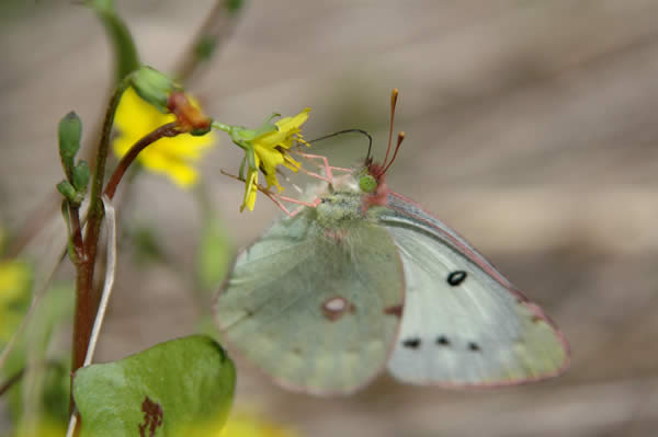 Pale Green Butterfly