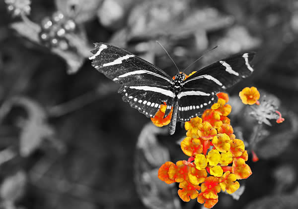 Zebra Butterfly Selective Color