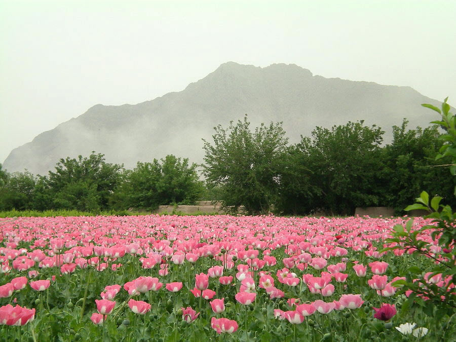 Visions of Afghanistan-Poppies