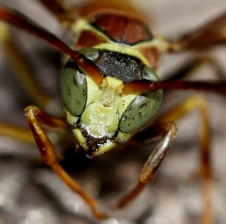 Insect Head - Macro