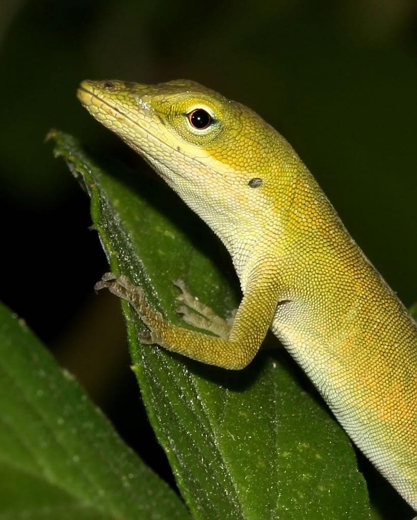 Yellowish Lizard