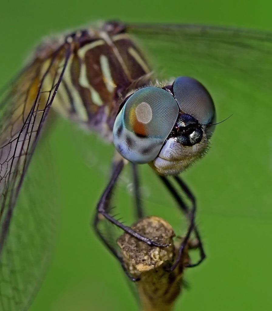 Dragon Fly Macro