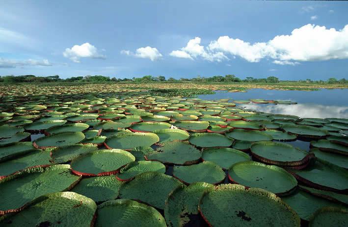 Field of Victoria Amazonica