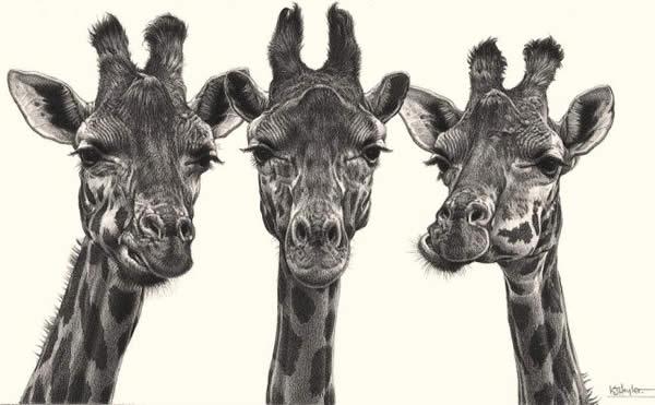 Eyelashes - Giraffes
