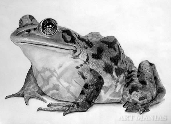 Frog Horse Drawing Frog Drawing