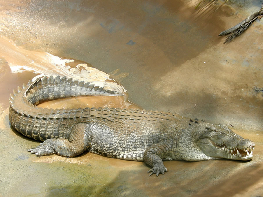 esturine crocodile