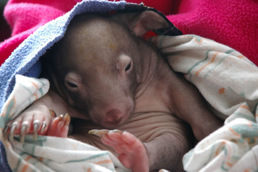 Meet Winifred - an 8 week old wombat