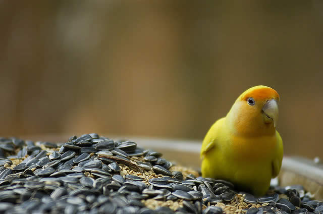 Love Bird - Yellow