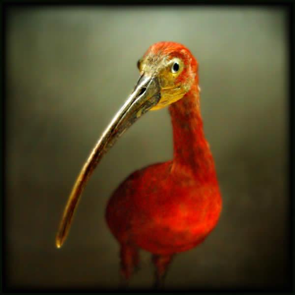 Portrait dun Oiseau Rouge