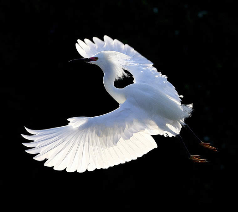 Flying Snow Egret