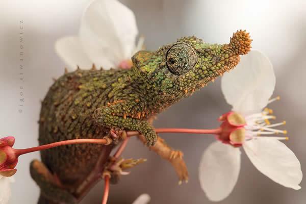 Rosette - Nosed Chameleon