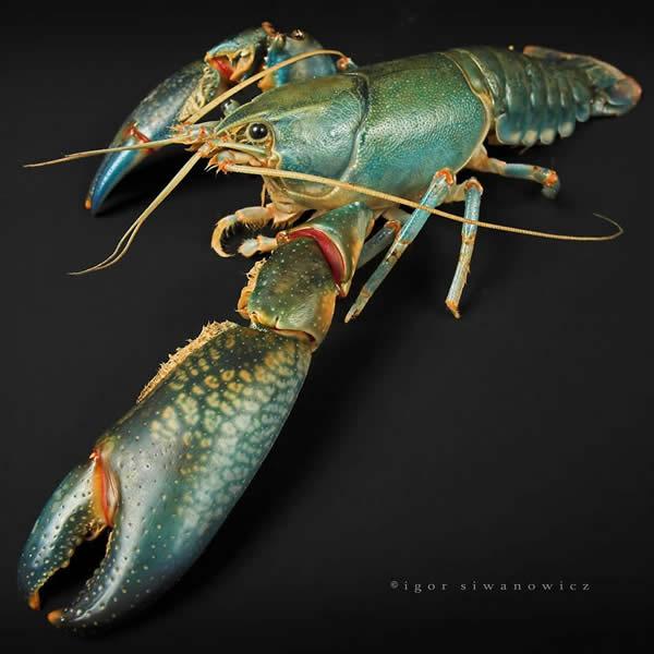 Pinchy the Crayfish