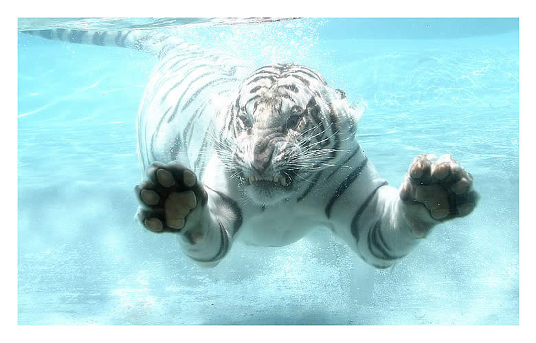 Big Fish or White Tiger