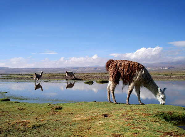 Bolivias Llamas