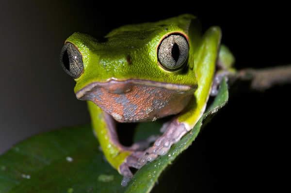 Green Leaf Frog