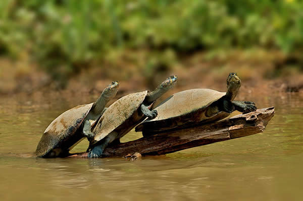 Yellow Spotted River Turtles