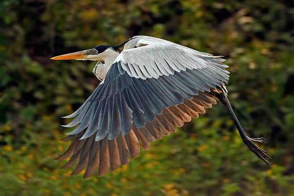 White-Necked Heron, Bolivia
