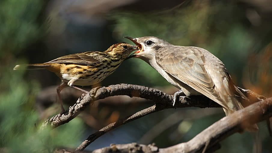 Feeding a Cuckoo