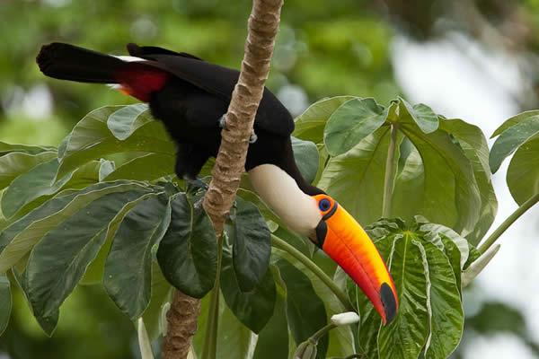 Бразильское птиц