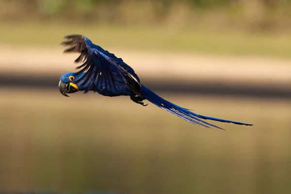 Бразильское синий попугай