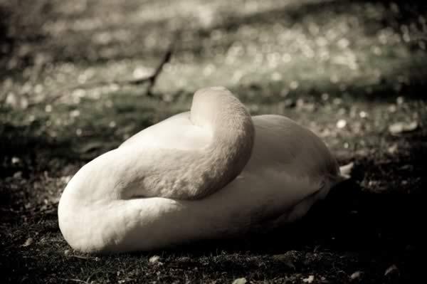 сонный лебедь