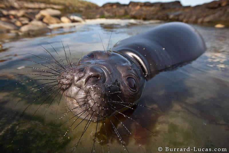 Playful Elephant Seal