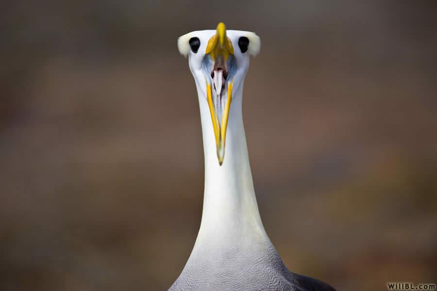Albatross Courtship Ritual