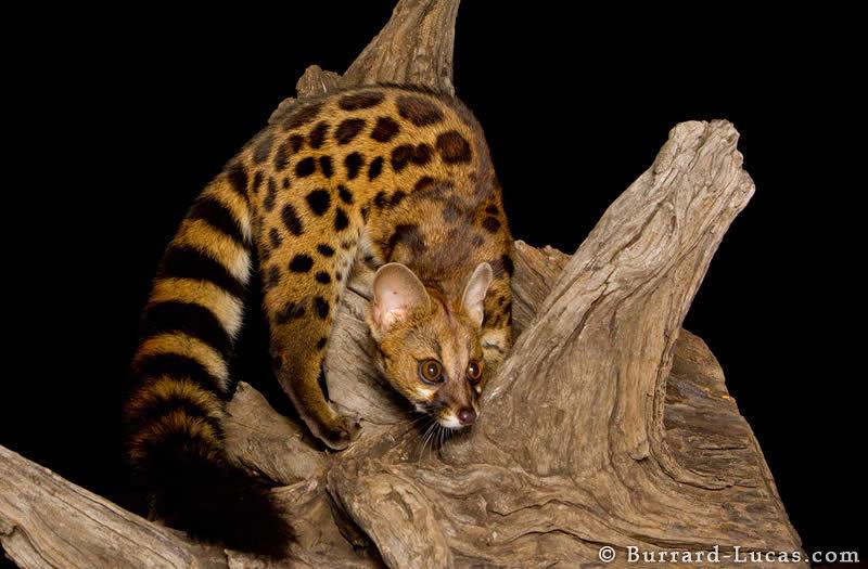 Rusty-spotted Genet