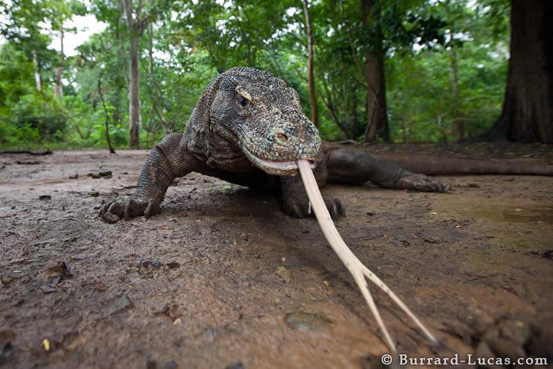 Wide-angle Komodo Dragon