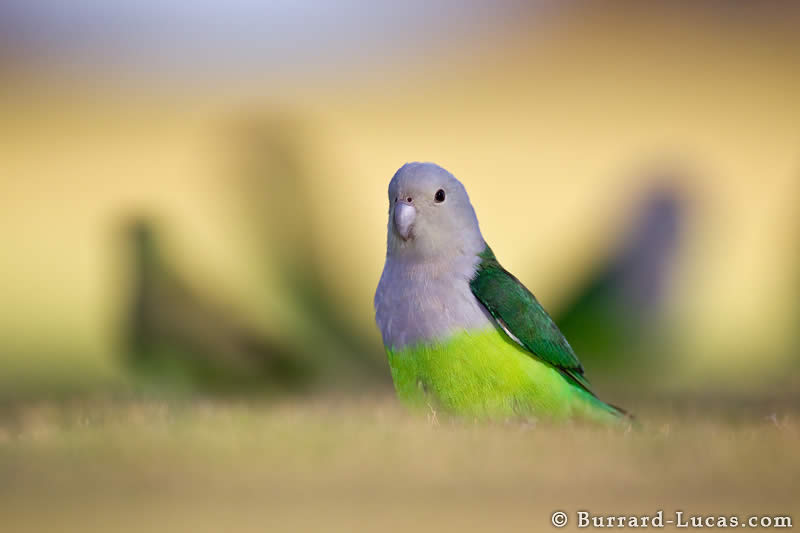 Grey-headed Lovebirds