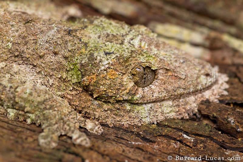 Leaf-tail Gecko on Bark