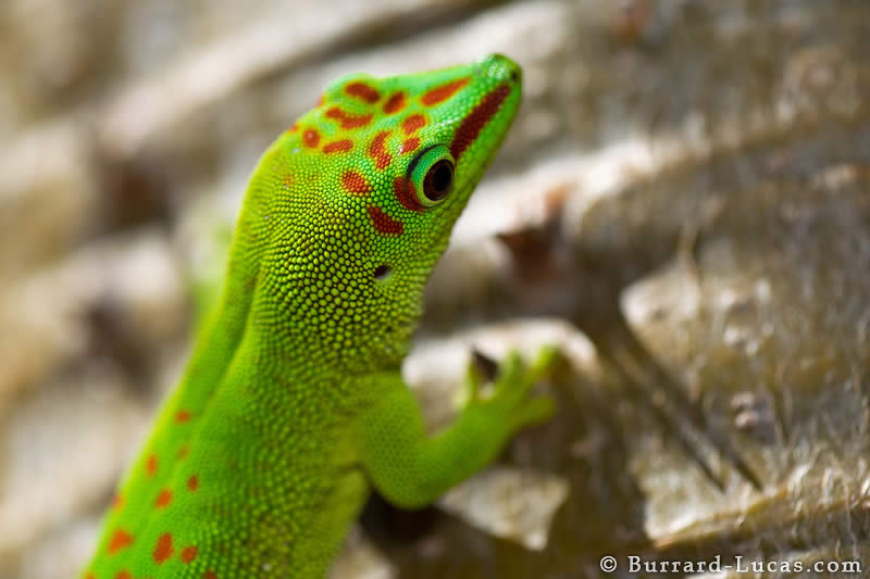 Day Gecko Head