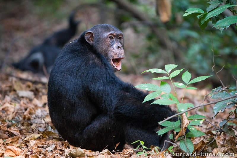 Chimp Calling