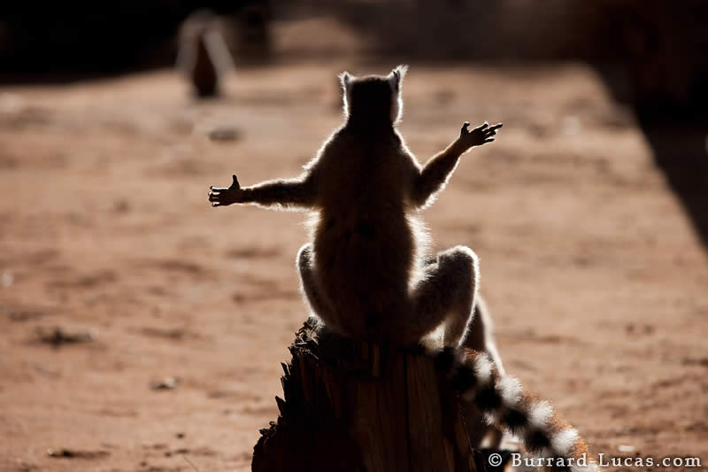 Sunbathing Lemur