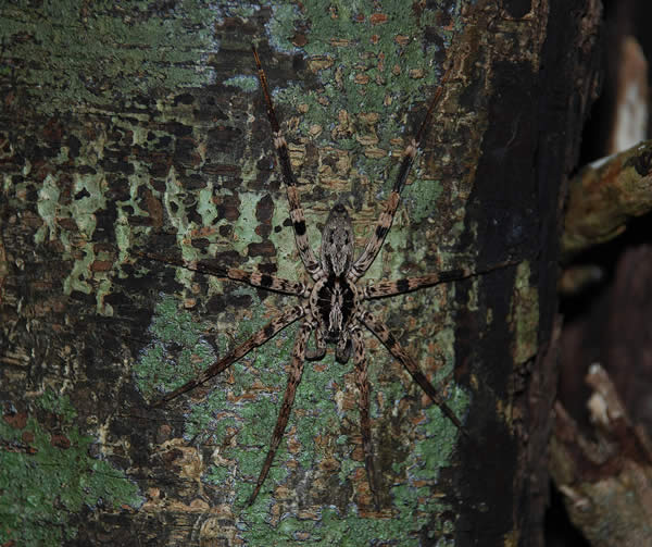 Camouflaged Spider, Montagne dAmbre, Madagascar