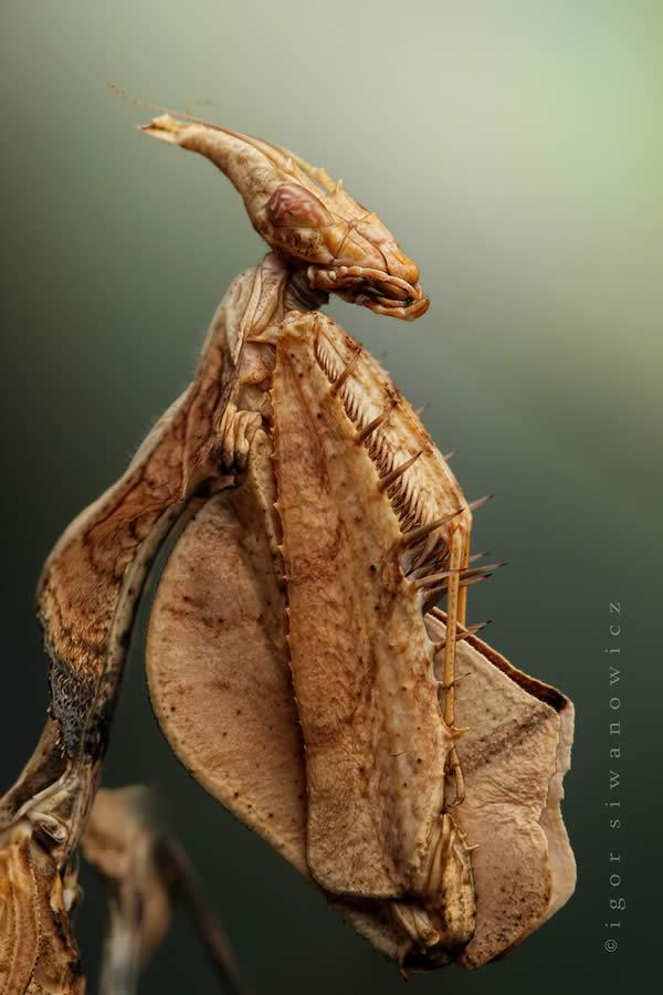 Idoloantis Diabolica - Devils Flower Mantis