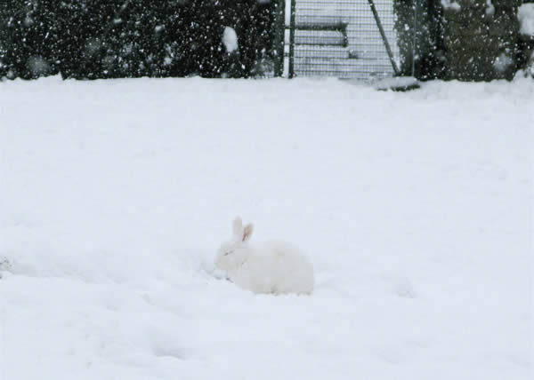 White Rabbit, White Snow