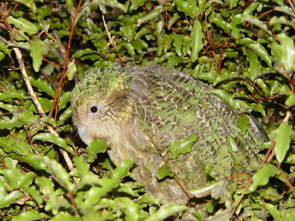 Kakapo (Strigops habroptilus)