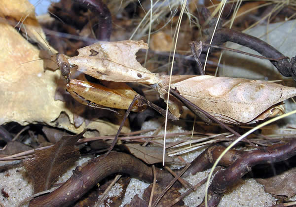 Dead Leaf Mantis