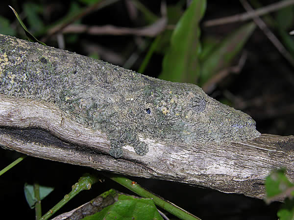 Camouflaged Leaf-tailed Gecko