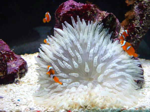 Clown Coral
