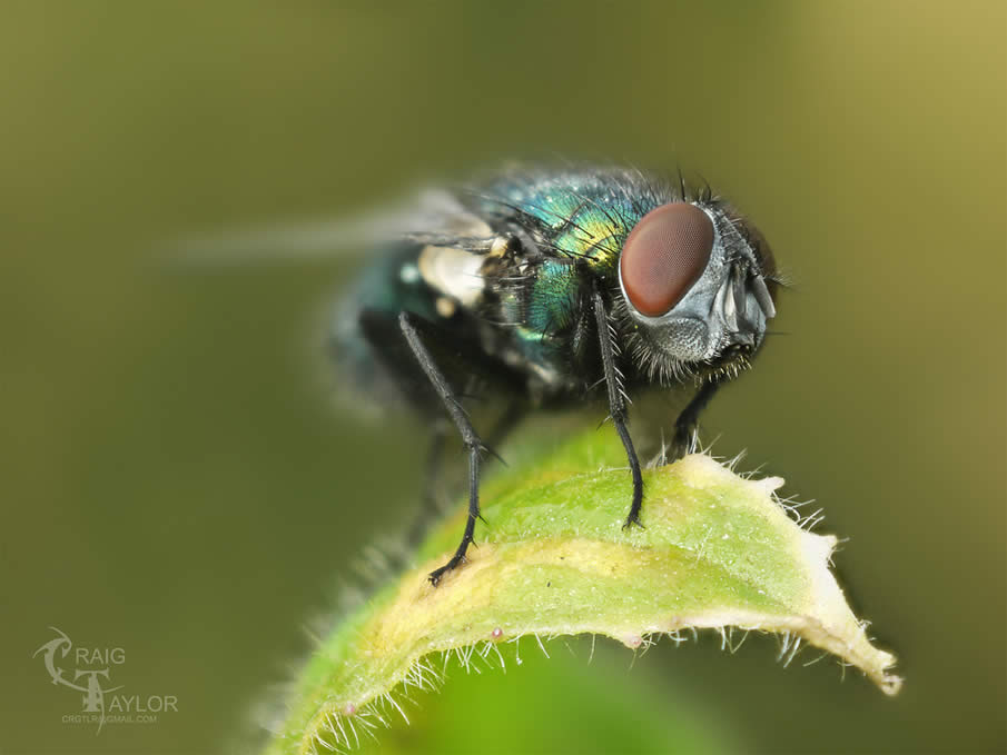 Blowfly Field Stack