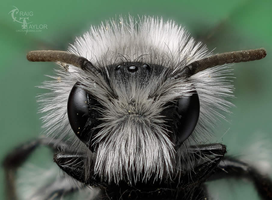White Furred Miner Bee