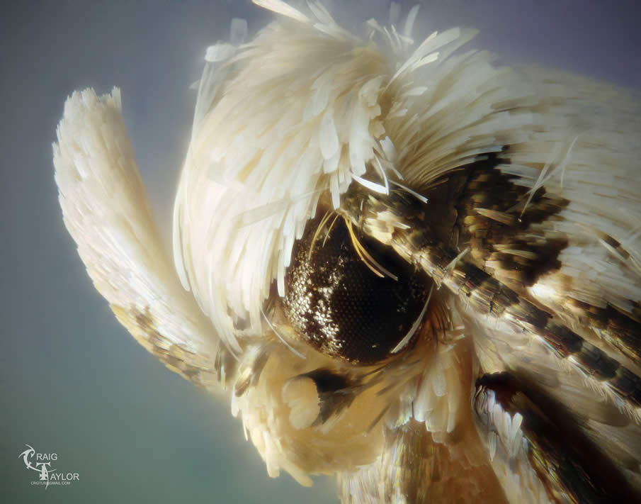 White Headed Moth