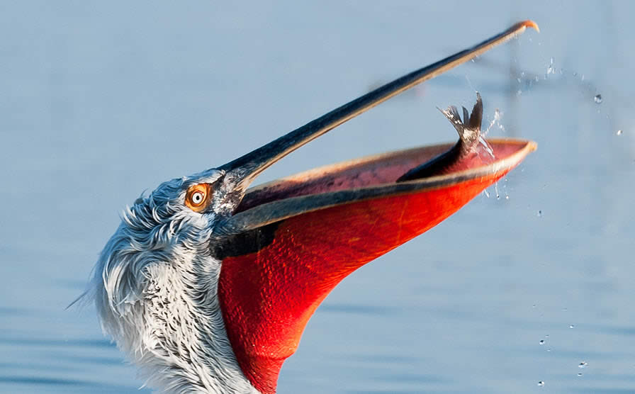 Dalmatian Pelican and Catch