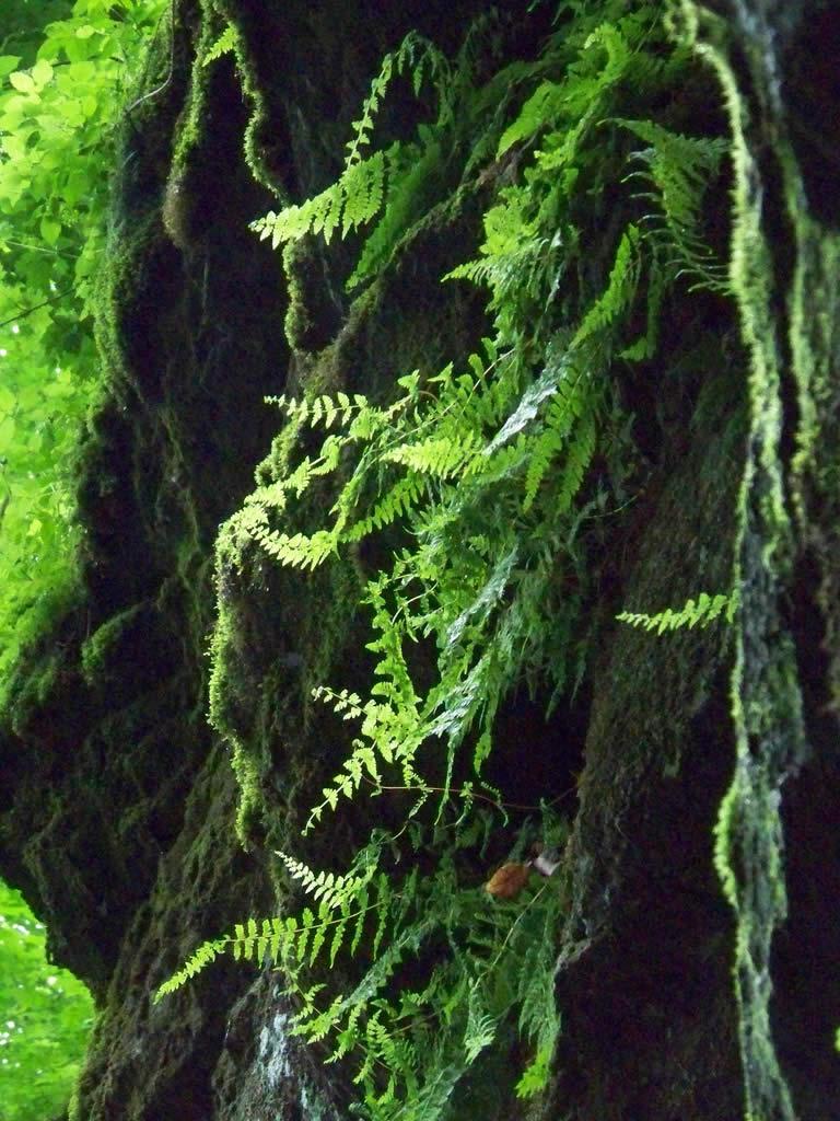 Cave ferns