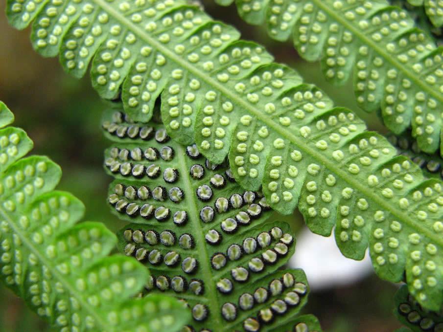 bracken fern green samambaia